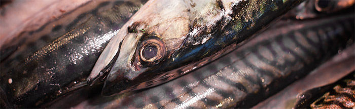 Mackerel